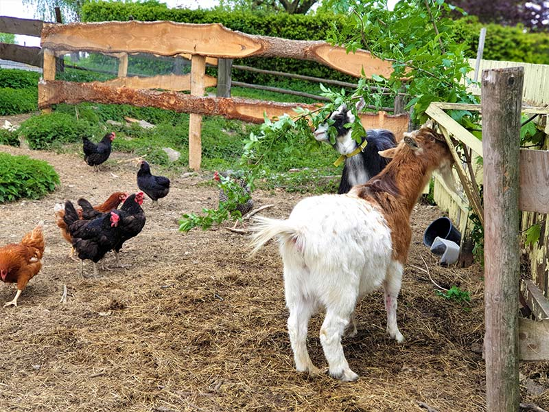 Hühner-und-Ziegen